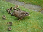 ducks-in-the-garden